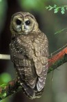 Northern Spotted Owls are threatened with extinction in BC