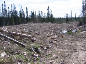 A clear cut next to a stream in Northern Ontario
